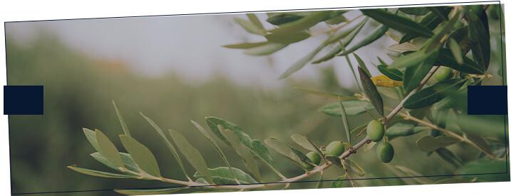 Foto de plantação de oliveiras